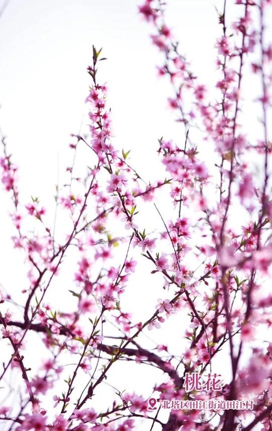 在北塔生态园桃花朵朵含羞盛开