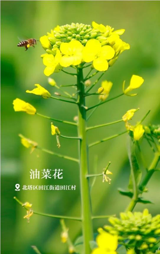 邵阳油菜花黄